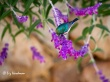 The Southern Double-collared Sunbird in the salvia.
