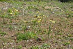 Bontrokkie, Hesperantha falcata