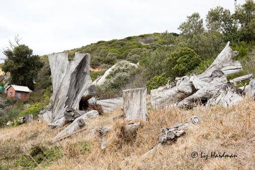 Blue gum stumps - 2012