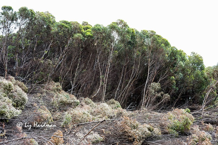 Felling of eucalyptus stands - 2015