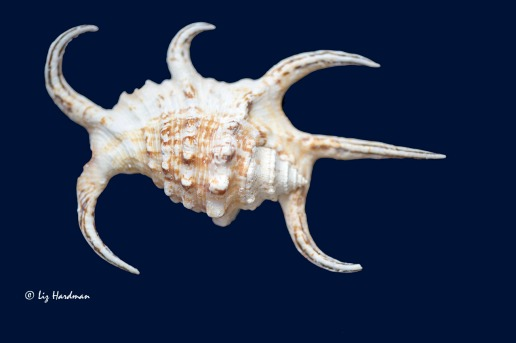 Spider conch