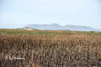 "A controlled burn to manage the ""Typha domingensis"" (Bullrush) was recently undertaken."