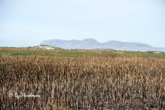 """A controlled burn to manage the """"Typha domingensis"""" (Bullrush) was recently undertaken."""