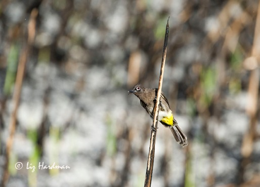 Cape Bulbul catching insects.