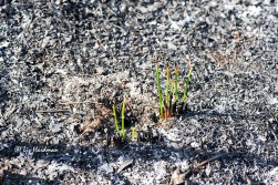New growth - Typha