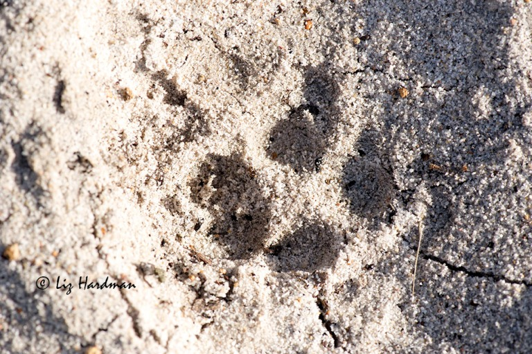 Genet spoor (large or small?)