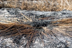 Burned Typha.