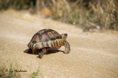 Angualate tortoise