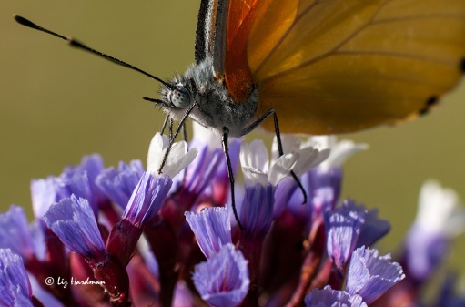 Proboscis deep in the nectaries - Common Dotted Border butterfly