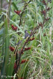 Cape sugarbird, champion pollinator of fybos species.