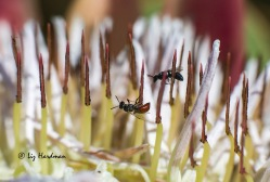 Flies in the stamens of a King Protea.