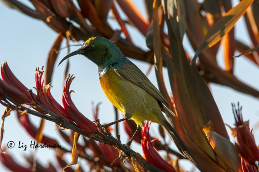 Orange breasted sunbird. curved beak - fit for purpose.
