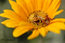 Monkey beetles in a gazania daisy