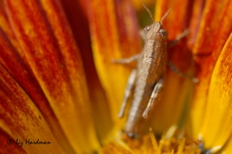 Young grasshopper in a daisy