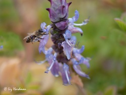 Honey bee, sage plant.