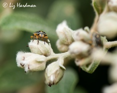 Beetle variety