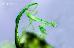 Praying mantis_vivid