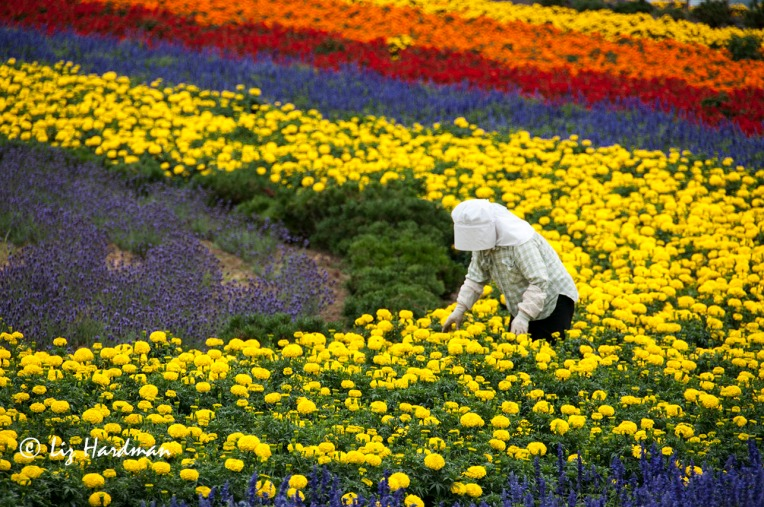 Furano flower fields, Japan