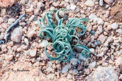 The stony gravels yield their treasure of underground geophytes.