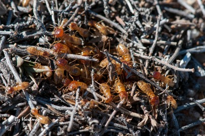 An active termite colony gathering twigs to take below.
