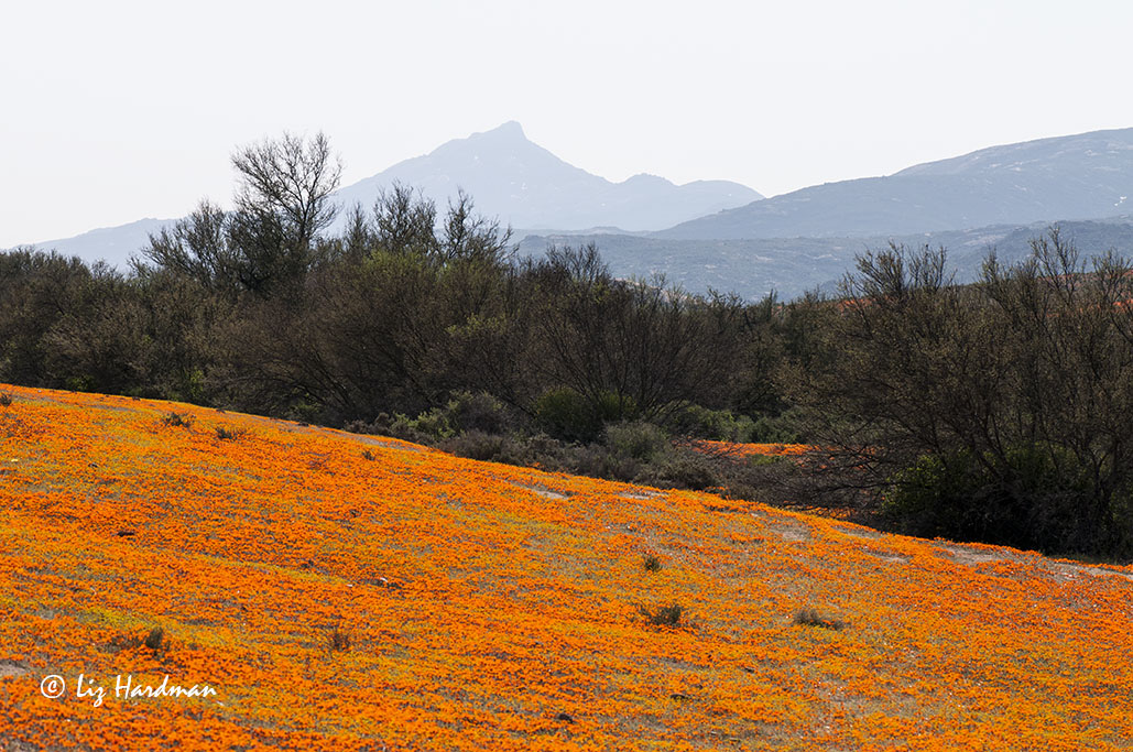 Namaqualand daisies in bloom.