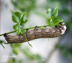 One of the largest caterpillars stripping the Cape Honeysuckle plant.
