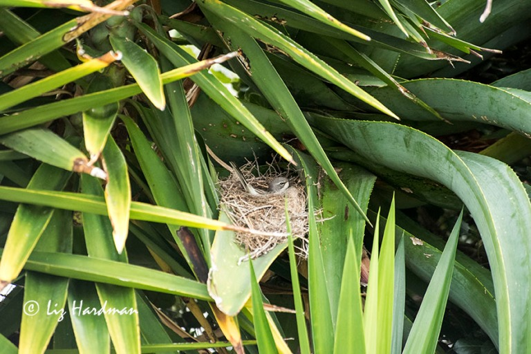 Two weeks on the nest.