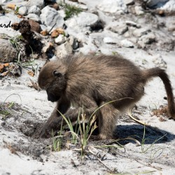 A baboon digs for corms or rhizomatous plants.