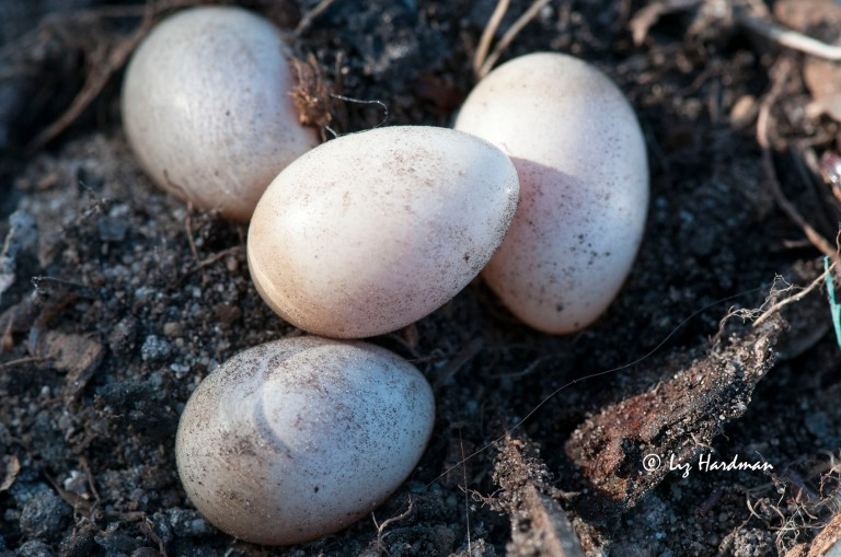 Wagtail eggs