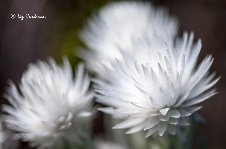 Cape Snow _ Syncarpha vestita