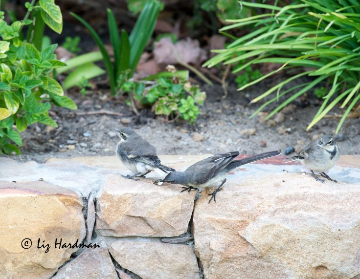 Wagtail parenting
