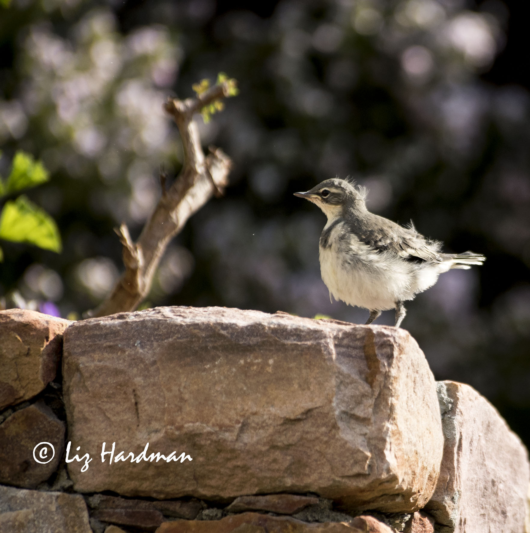 Wagtail chick in captivity 41