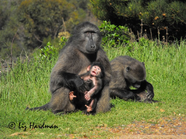 Baboon_mother with baby