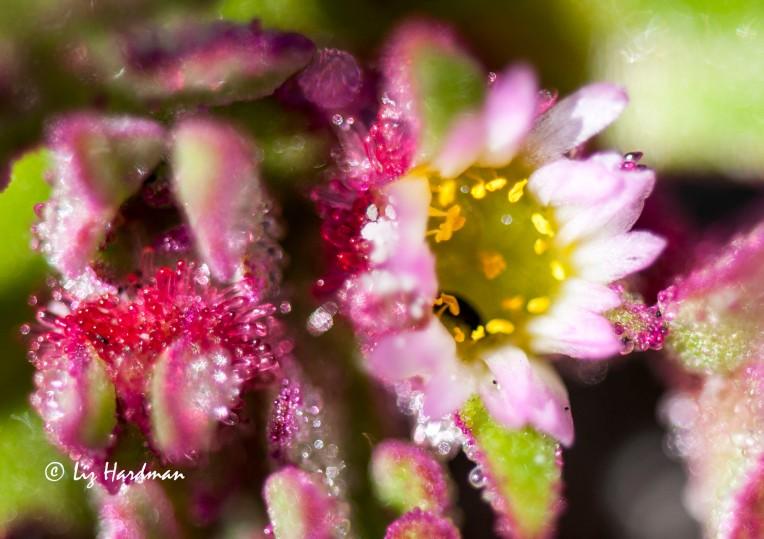 Ice plant_flower bud