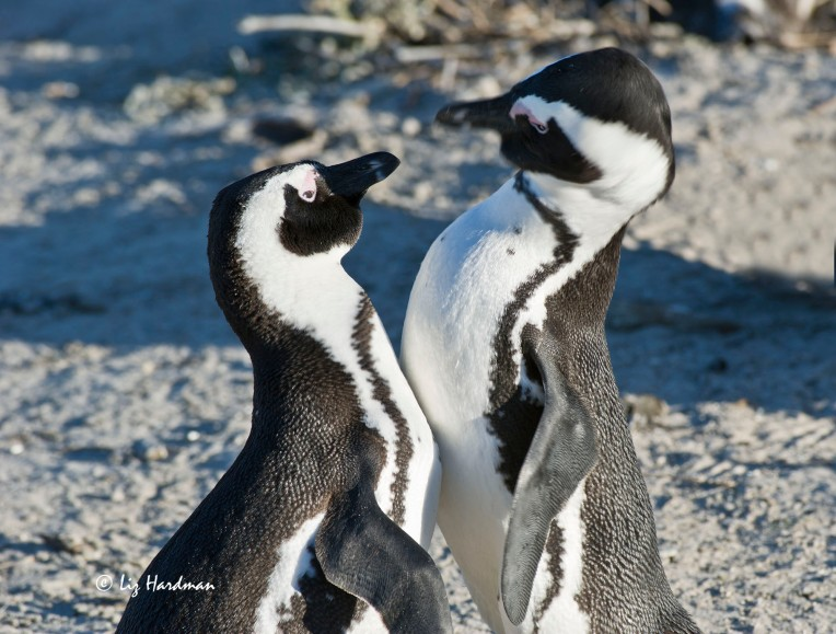 Penguin face-off