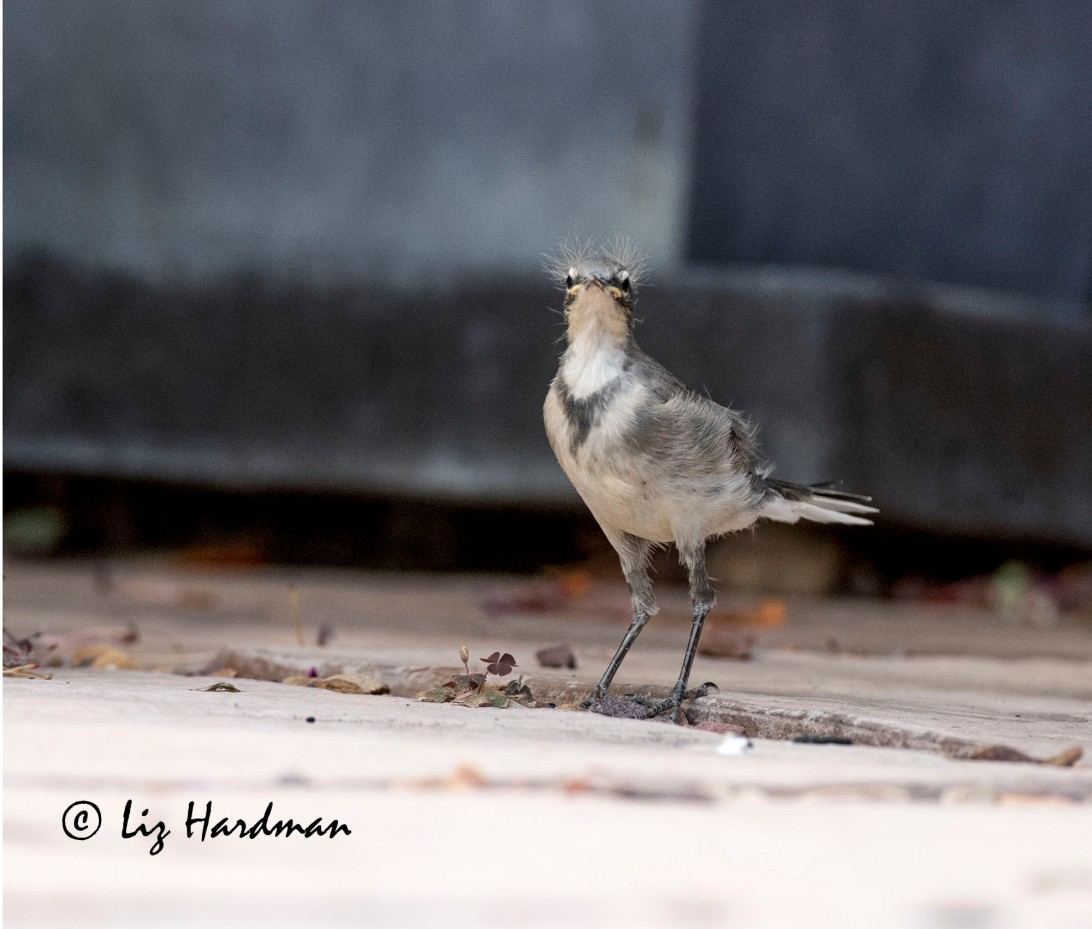 Wagtail chick_ the littlest.