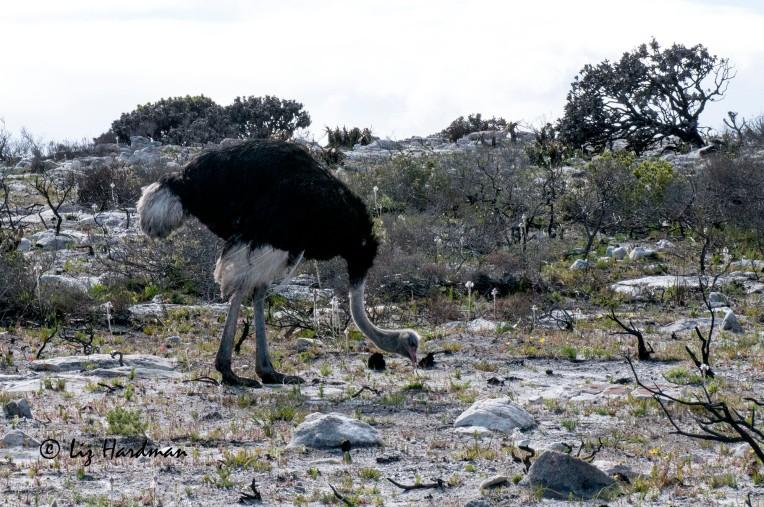 Ostriches_APR4036