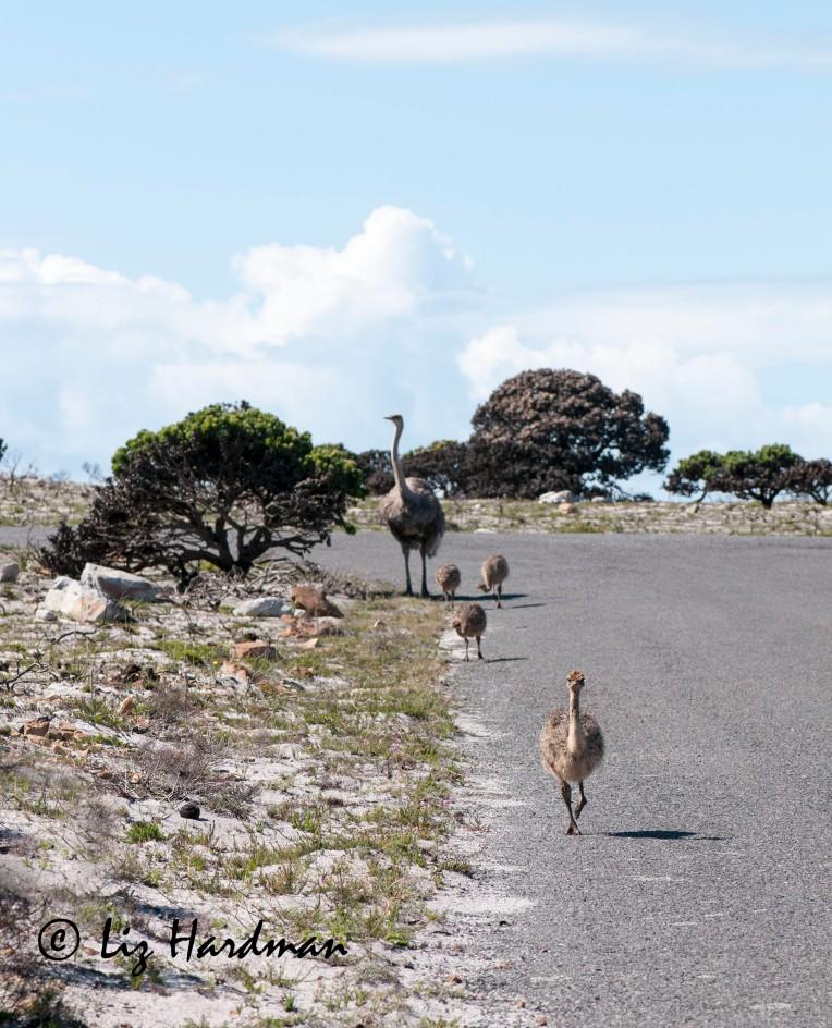 Ostriches_01