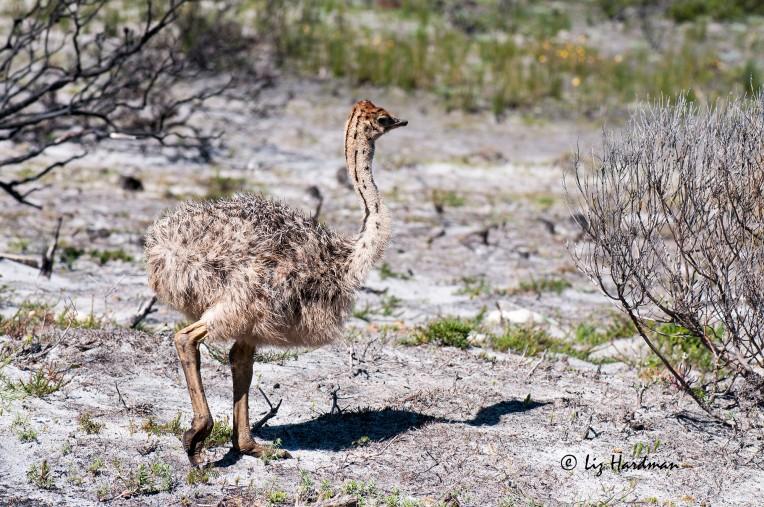 Ostriches_APR4156