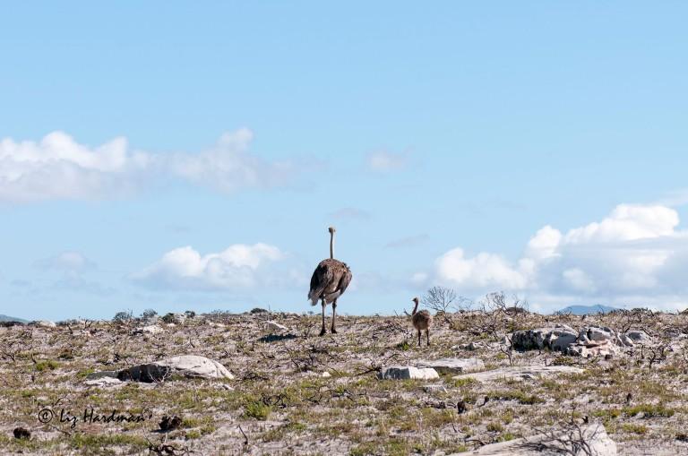 Ostriches_02