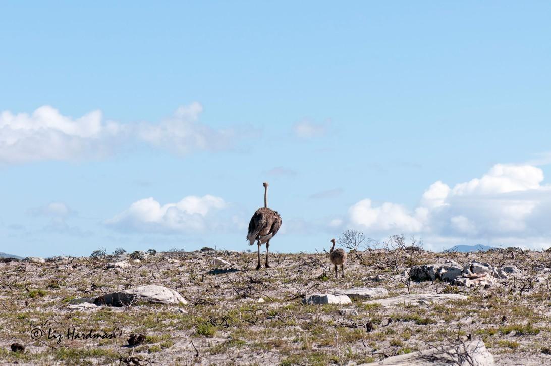 Ostriches_APR4175