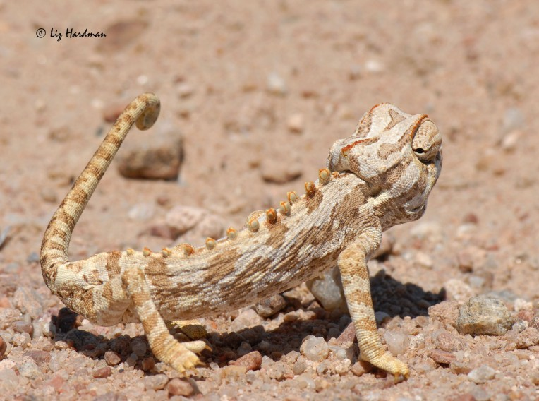 Namaqua chameleon_03