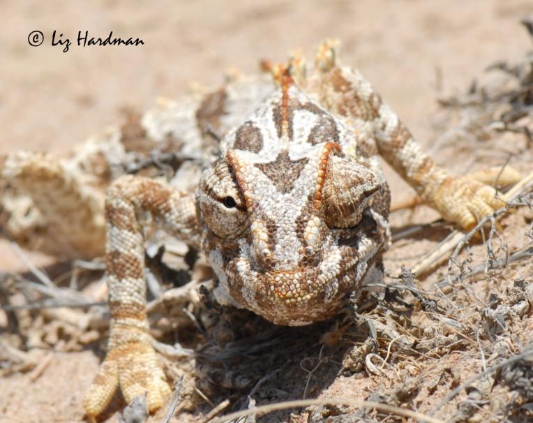 Namaqua chameleon_02