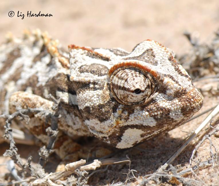 Namaqua chameleon_01