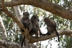 The agile juvenile baboons.