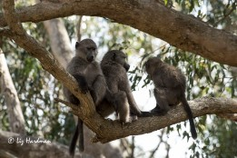The agile juvenile baboons.