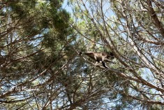 Foraging in the pine trees.