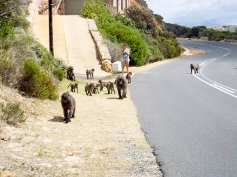 Chacma baboons _ the Smitswinkel Troop along the road at Castle Rock.