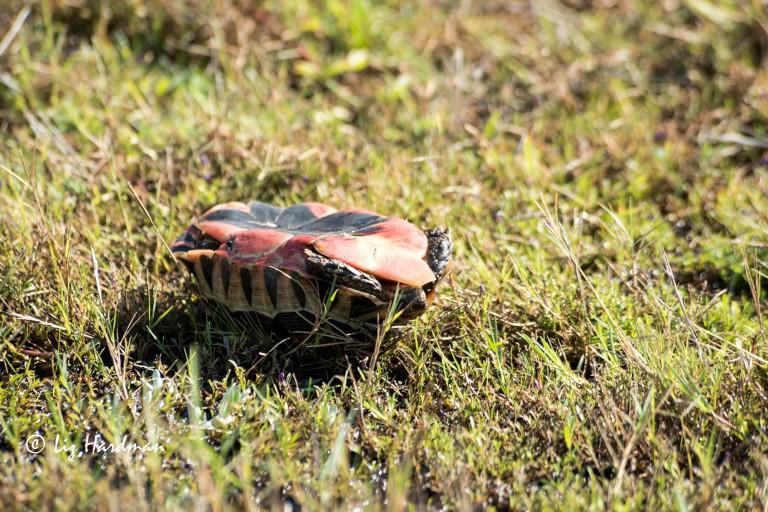 Angulate tortoise_vanquished