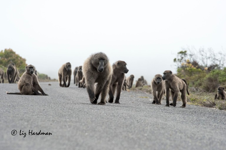 Chacma baboons_01